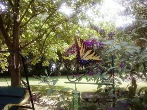 ButterflyBush2010 (3)