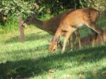 Fawns growing Up