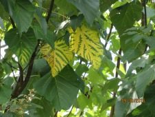 Paulownia tiger leaves