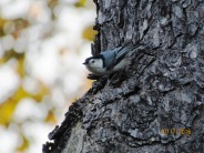 Nuthatch finally looking my way